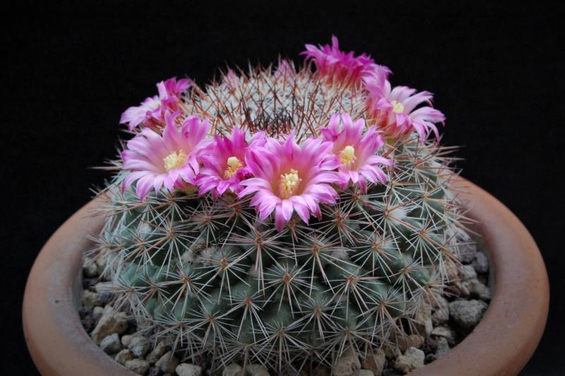 Mammillaria floresii 3585-213