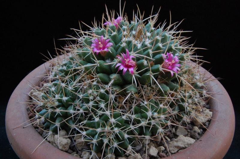 Mammillaria angularis        3592-210