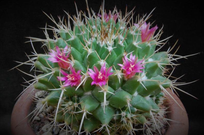 Mammillaria angularis        3592-211