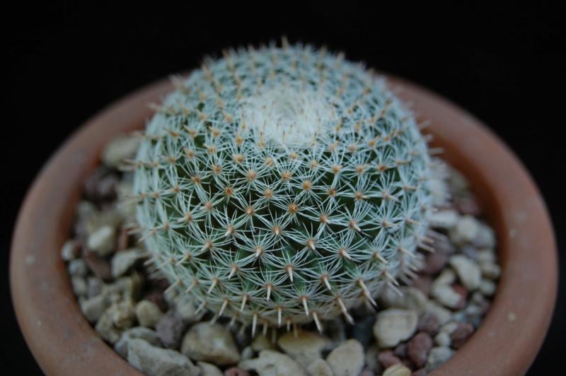 Mammillaria perbella 3607-210