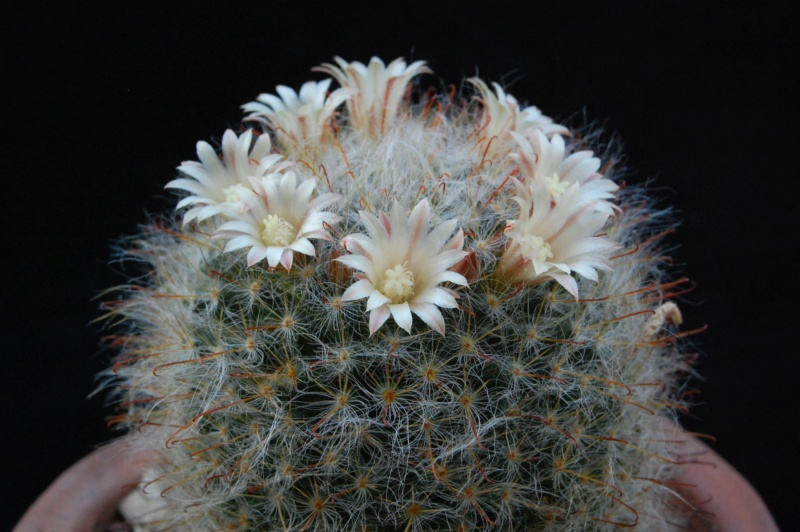 Mammillaria longicoma 3621-211