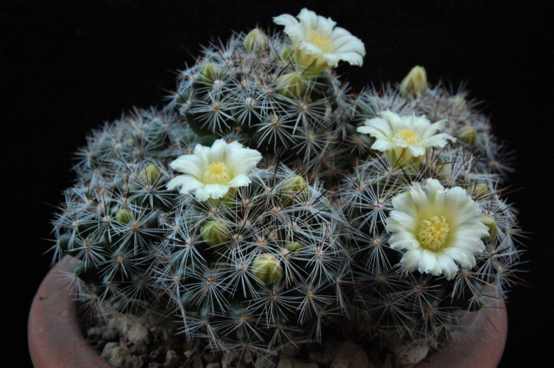 Mammillaria vetula 3643-210