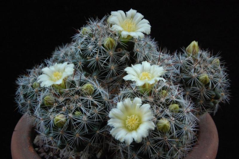 Mammillaria vetula 3643-211