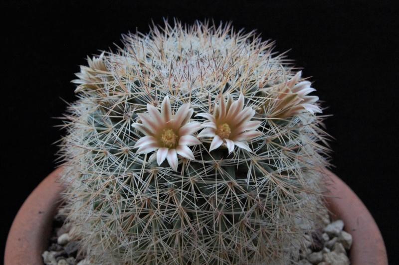 Mammillaria heyderi - Page 2 3646-210