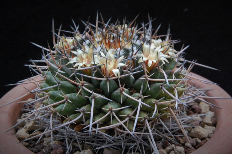 Mammillaria vagaspina 3683-210