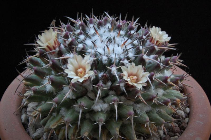 Mammillaria vagaspina 3686-210