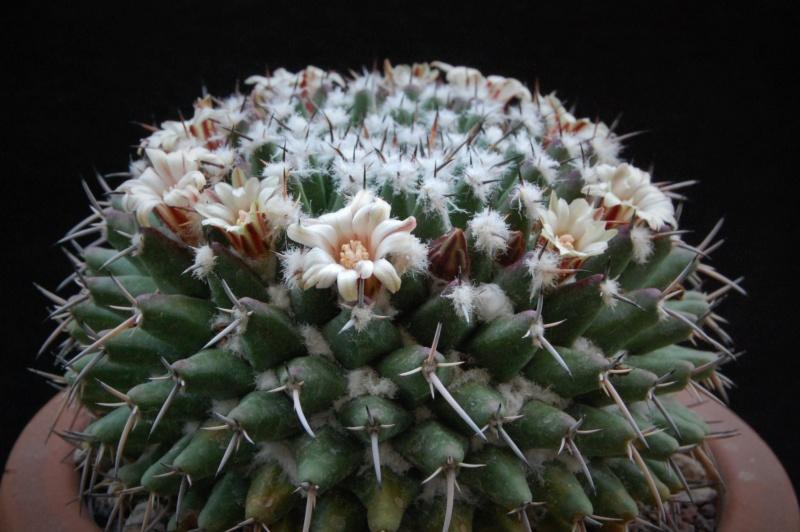 Mammillaria vagaspina 3686-211