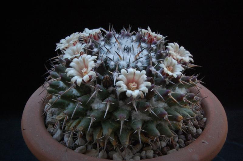 Mammillaria vagaspina 3686-212