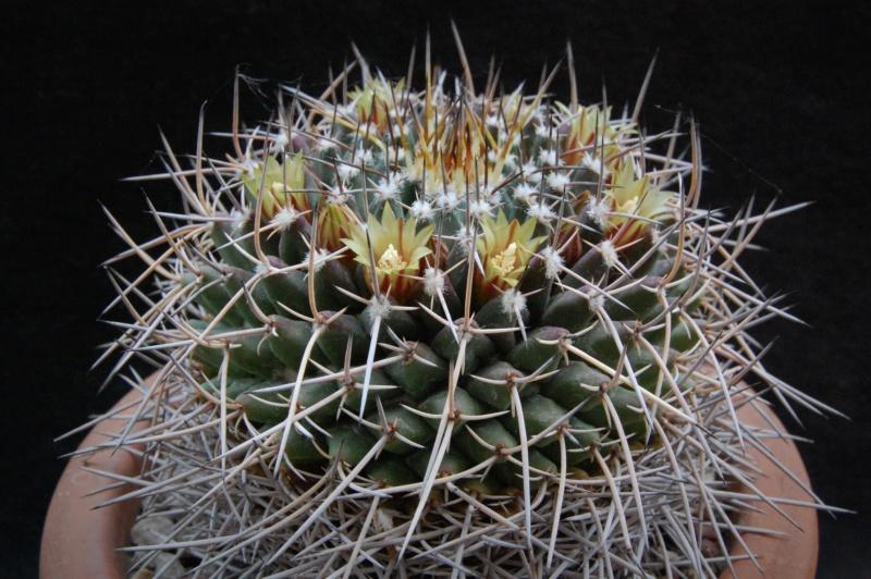 Mammillaria vagaspina 3723-210