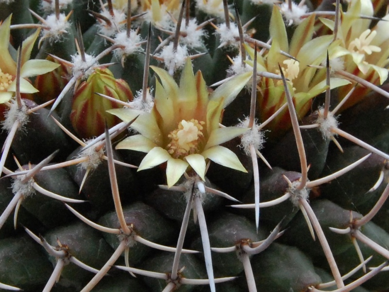 Mammillaria vagaspina 3723-211
