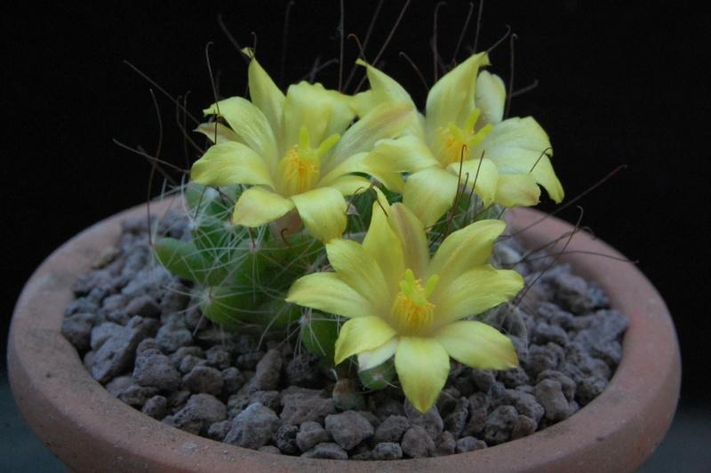 Mammillaria surculosa 3784-210