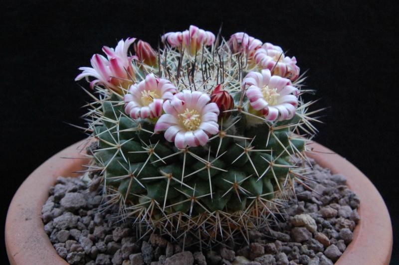 Mammillaria crassa 3805-210
