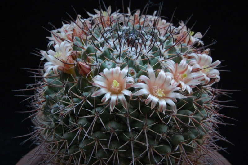 Mammillaria wagneriana 4008-211