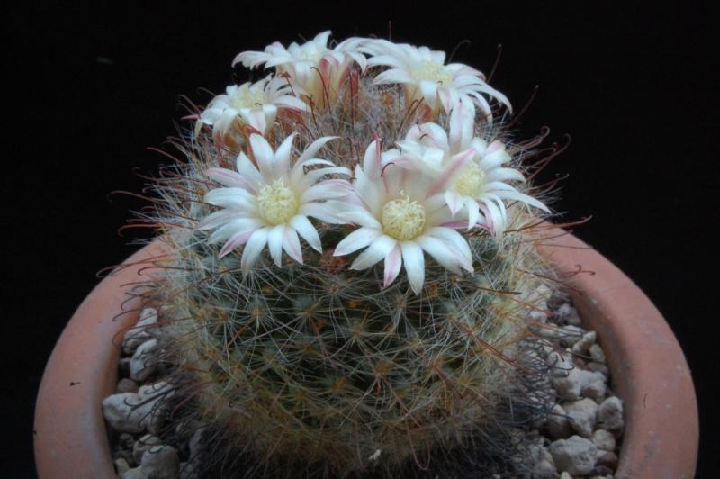 Mammillaria knebeliana 4029-210