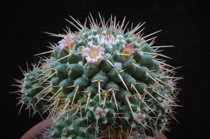 Mammillaria bernalensis 4040-211