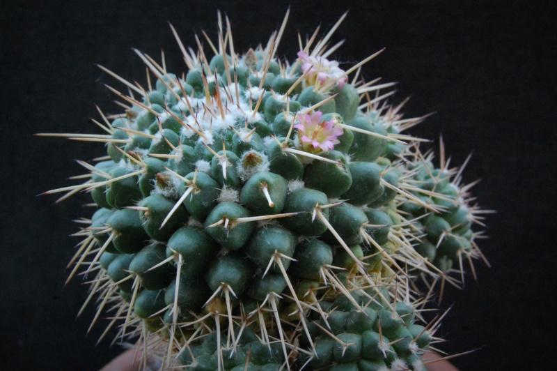 Mammillaria bernalensis 4040-212