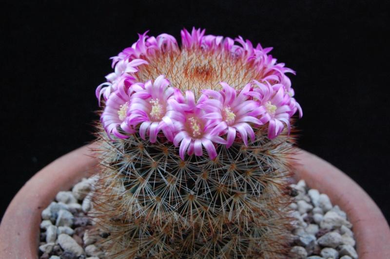 Mammillaria crassior 4100-210