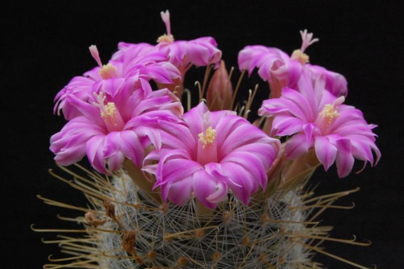 Mammillaria longiflora 4127-211