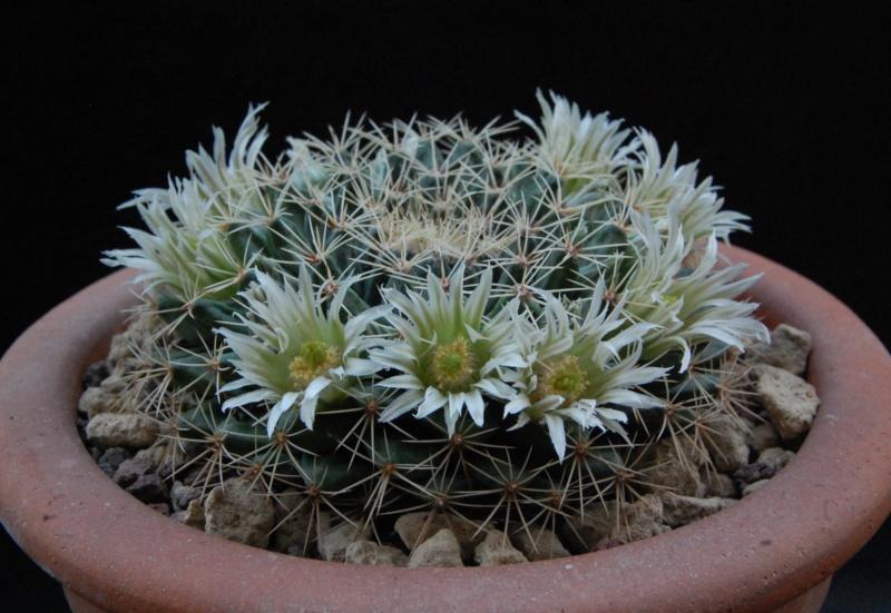 Mammillaria heyderi 4150-210