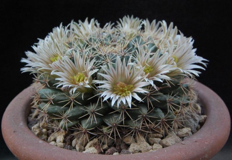 Mammillaria heyderi 4151-210