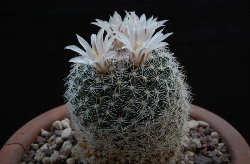 Mammillaria coahuilensis 4197-210