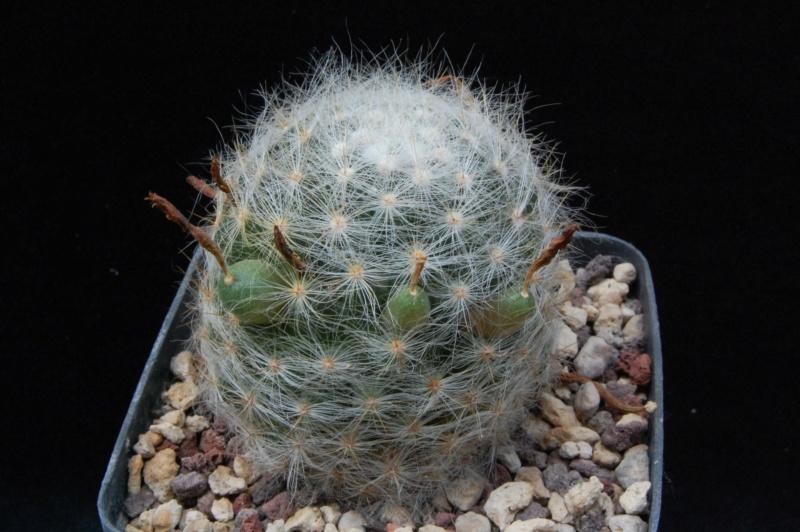 Mammillaria baumii 4207-211