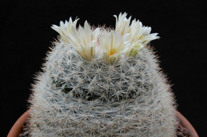 Mammillaria candida 4214-210