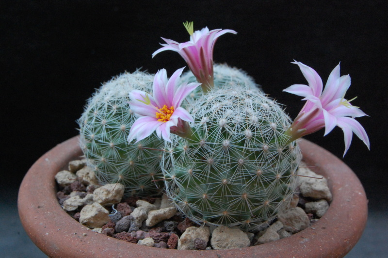 Mammillaria grahamii 4301-210