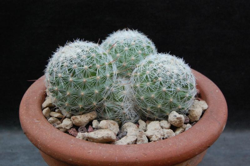 Mammillaria grahamii 4301-211