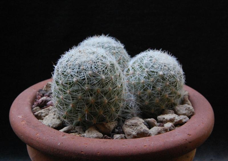 Mammillaria grahamii 4301-212