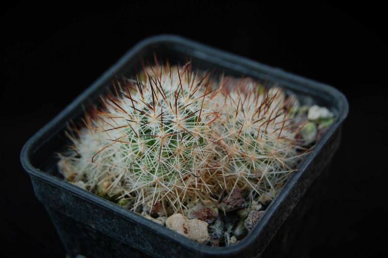 Mammillaria centraliplumosa 4351-210