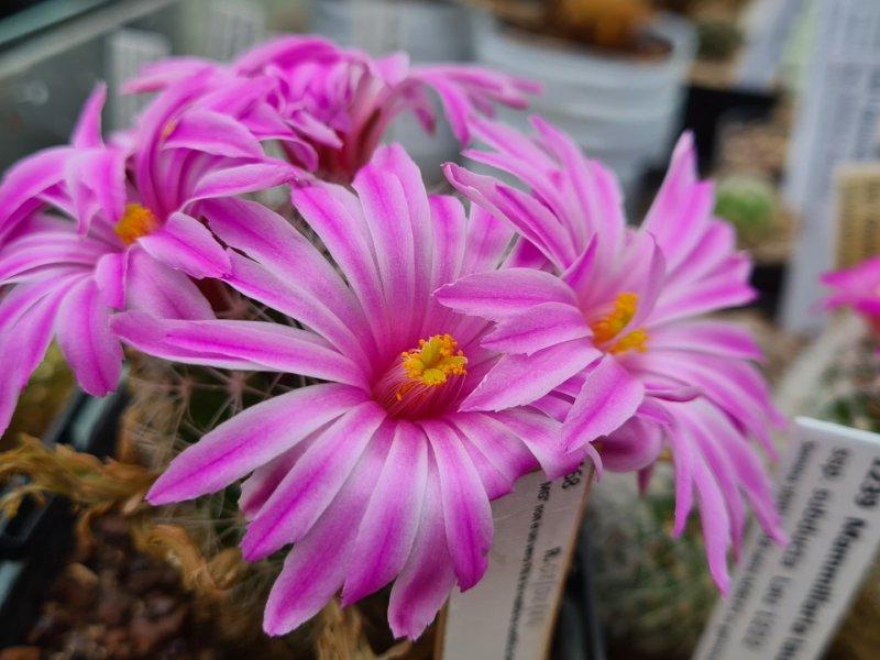 Mammillaria napina 468_0510