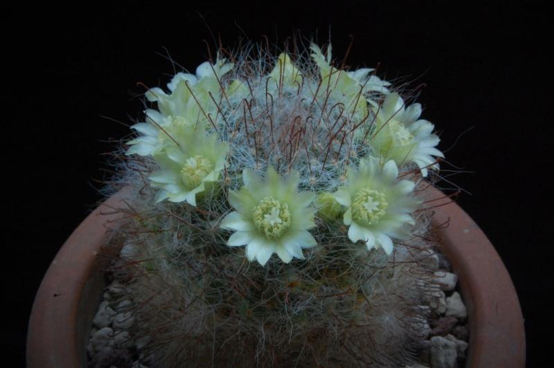 Mammillaria kunzeana 494-2010