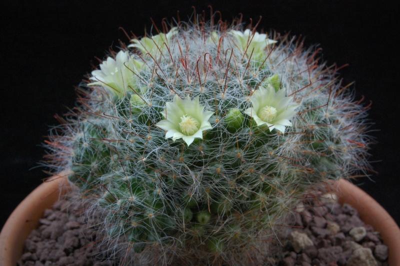 Mammillaria kunzeana 494-2011