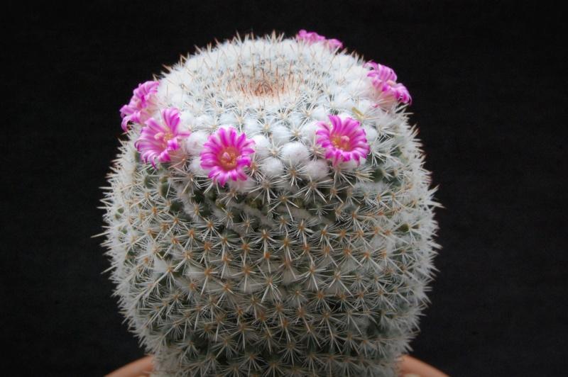 Mammillaria geminispina 5087-211