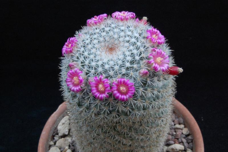 Mammillaria geminispina 5087-212