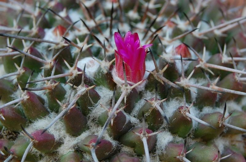 Mammillaria priessnitzii 5091-211