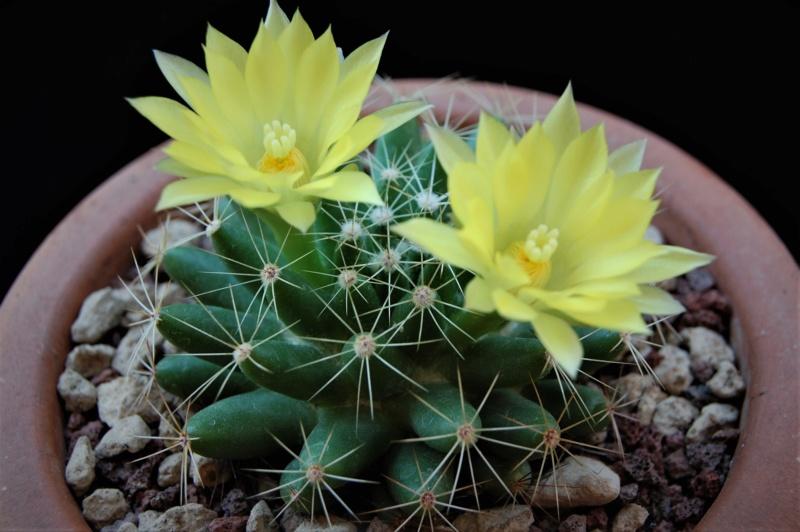Mammillaria sphaerica 5113-211