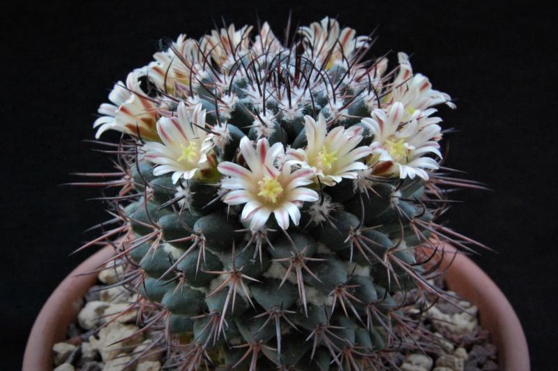 Mammillaria wagneriana 5150-210