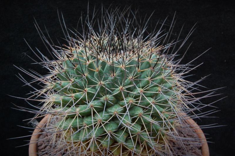 Mammillaria wagneriana 5158-210
