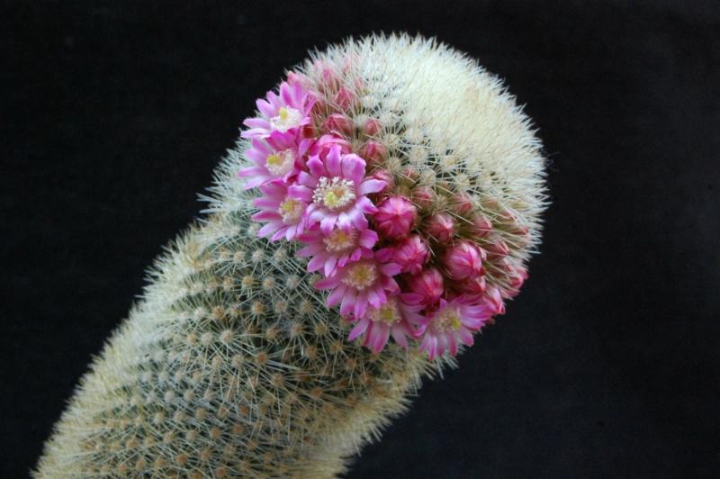 Mammillaria spinosissima 5177-211