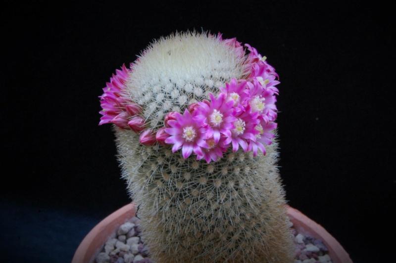 Mammillaria spinosissima 5177-212