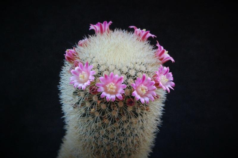 Mammillaria spinosissima 5177-213