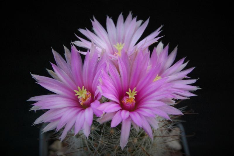Mammillaria viridiflora 5308-210