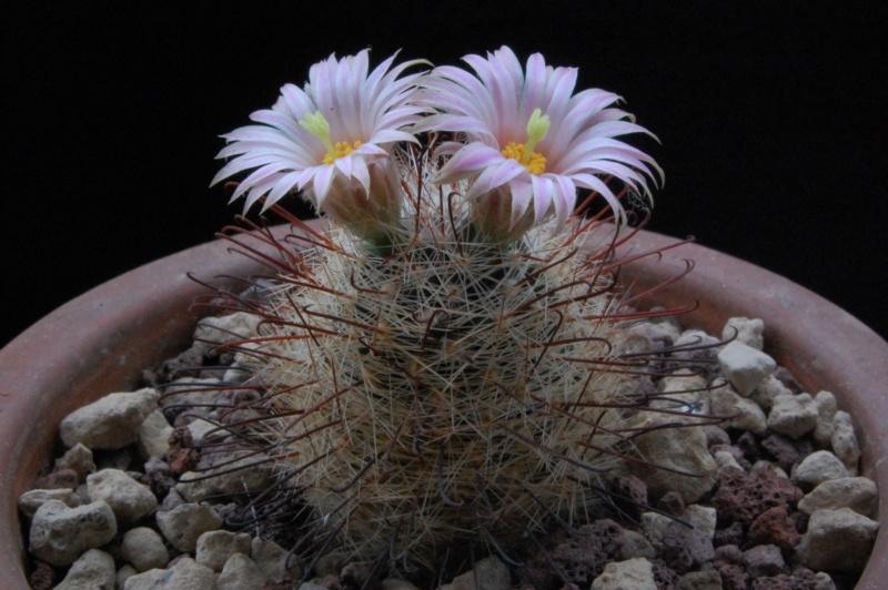 Mammillaria wrightii 5310-210