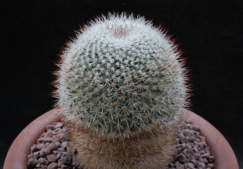 Mammillaria haageana 5501-210