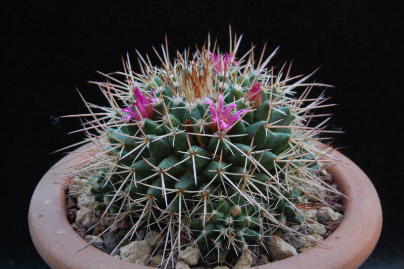 Mammillaria compressa 5508-211