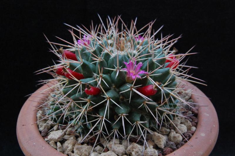 Mammillaria compressa 5508-212