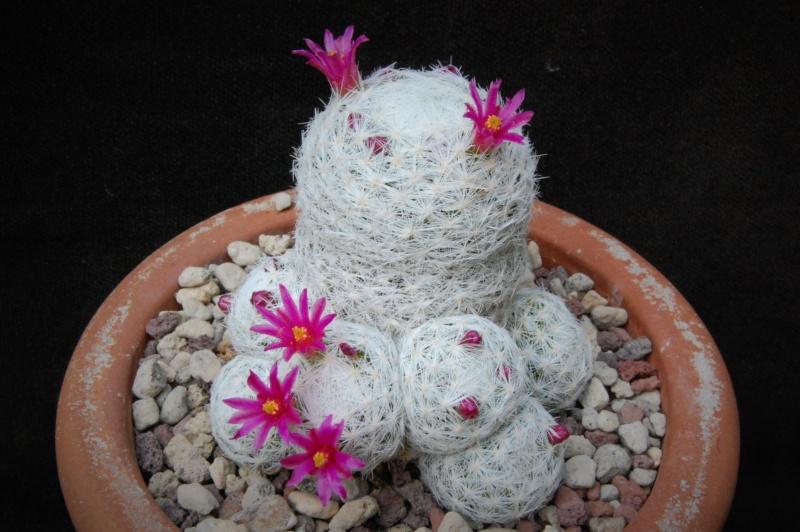 Mammillaria humboldtii 583-2010
