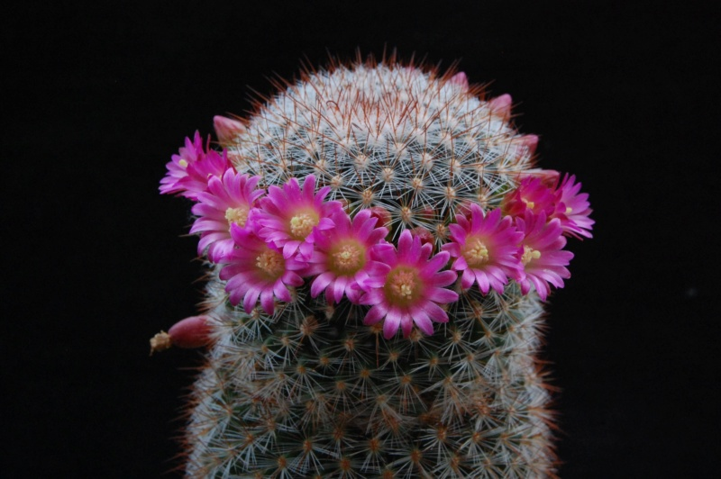 Mammillaria rekoi 6088-210